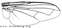 Graphogaster brunnea, wing