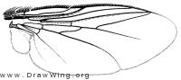 Goniochaeta plagioides, wing
