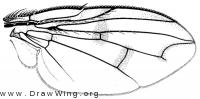 Lypha harringtoni, wing