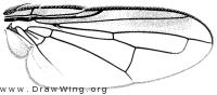 Catharosia lustrans, wing