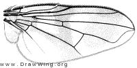 Oestrophasia signifera, wing