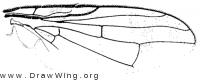 Urophora jaceana, wing
