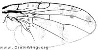 Ceratitis capitata, wing