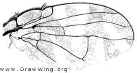 Stenopa vulnerata, wing