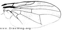 Rhagoletis pomonella, wing
