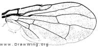 Eurosta comma, wing