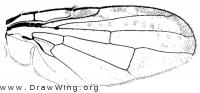 Icterica seriata, wing