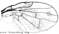 Xanthomyia platyptera, wing