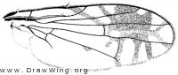 Trupanea actinobola, wing