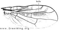 Valentibulla californica, wing