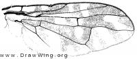 Aciurina bigeloviae, wing