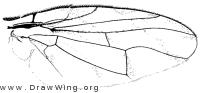 Tomoplagia obliqua, wing