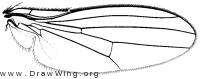 Pelomyia coronata, wing