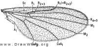 Trichothaumalea pluvialis, wing