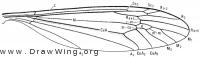 Tipula (Yamatotipula) tricolor, wing