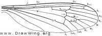Dicranota (Eudicranota) pallida, wing