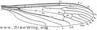 Pseudolimnophila inornata, wing