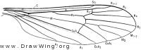 Ormosia monticola, wing
