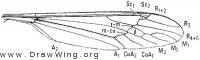 Megistocera longipennis, wing