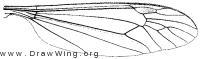 Nephrotoma ferruginea, wing