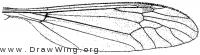 Tipula (Lunatipula) dorsimacula, wing