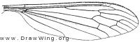 Cylindrotoma distinctissima americana, wing