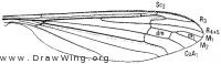 Phalacrocera tipulina, wing