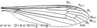 Phalacrocera replicata, wing