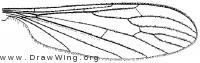 Thaumastoptera hynes, wing