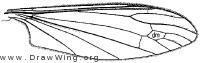 Antocha saxicola, wing