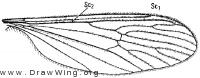 Pedicia (Tricyphona) protea, wing