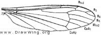 Hexatoma megacera, wing
