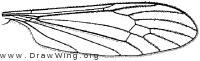 Atarba picticornis, wing