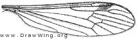 Phyllolabis encausla, wing