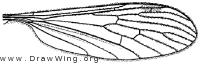 Prolimnophila areolata, wing
