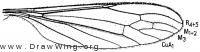 Toxorhina magna, wing
