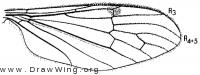Teucholabis complexa, wing
