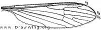 Gonomyia (Gonomyia) subcinerea, wing
