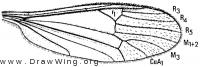 Cryptolabis paradoxa, wing