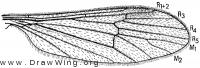 Ormosia (Ormosia) manicata, wing