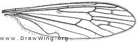 Erioptera (Symtplecta) cana, wing