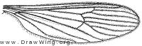 Erioptera (Erioptera) septemtrionis, wing