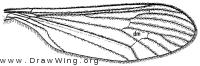 Diazosma hirtipennis, wing
