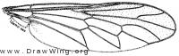 Xylomya americana, apis