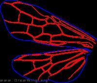 Argidae, wings