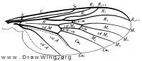 Rhyphus, wing