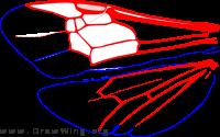 Homalictus dampieri, wings