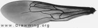 Scolia hirta, forewing