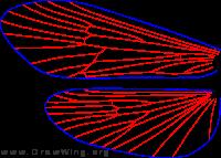 Pedomoecus sierra, wings