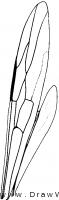 Stephanidae, wings